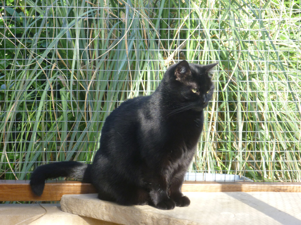 Cattery East Sussex black cat by bamboo 600