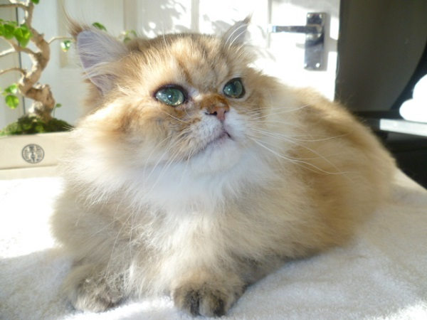 Cattery East Sussex ginger and white long hair cat groomed 600