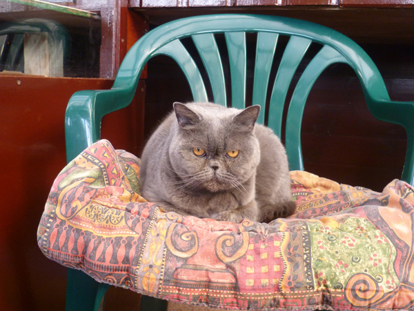 Cattery East Sussex silver short hair cat on cushion on chair 600
