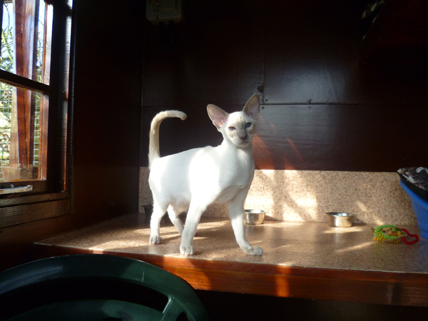 Cattery East Sussex white short hair cat on shelf 600