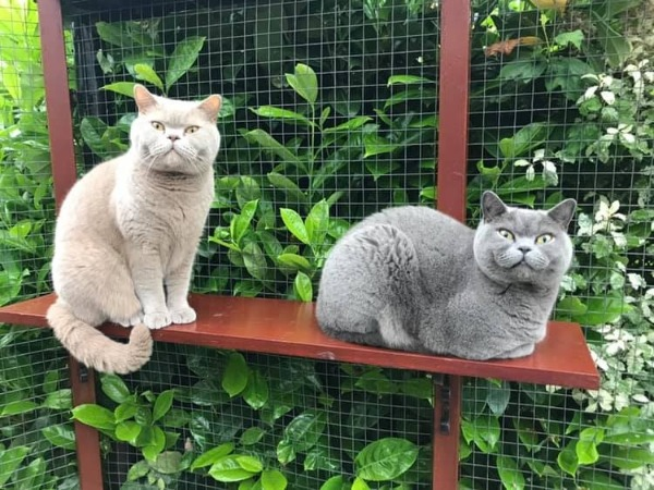 Marshfoot Cattery Louis & Teddy