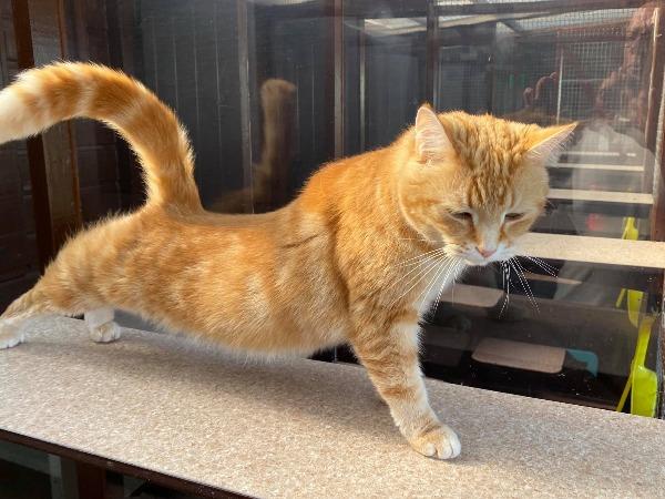Marshfoot Cattery resident Boris