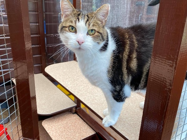 Marshfoot Cattery resident Cosmo