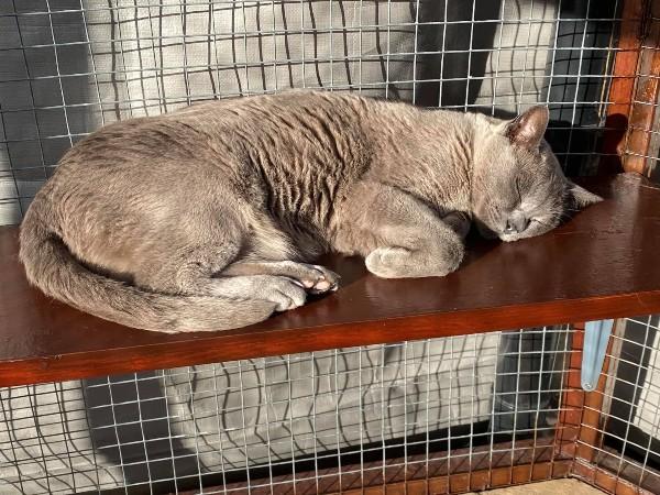 Marshfoot Cattery resident Bluebell