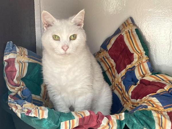 Marshfoot Cattery resident Daisy