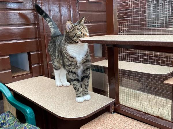 Marshfoot Cattery resident Rocky
