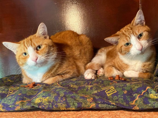 Marshfoot Cattery residents Simba & Milo